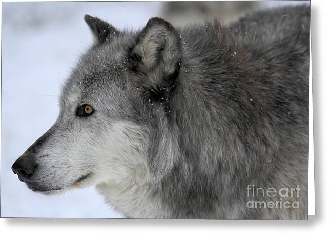 Alpha Wolf Greeting Cards - Golden Eyes Greeting Card by Adam Jewell