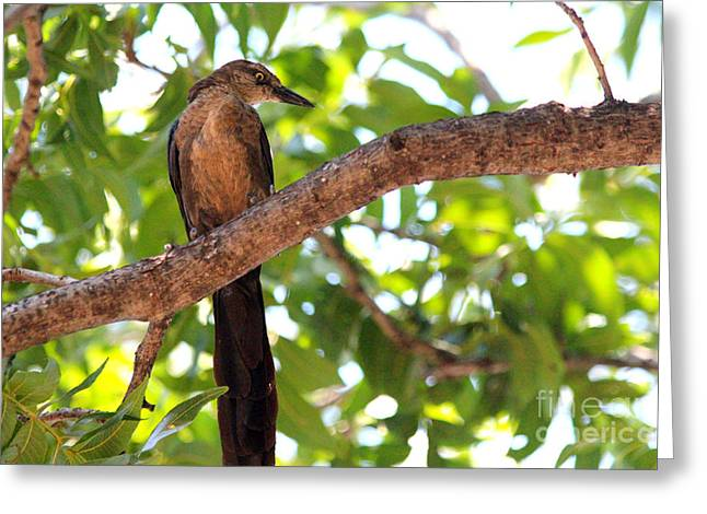 Bird On Tree Greeting Cards - Golden Female Boat Tailed Grackle Greeting Card by Kathy  White