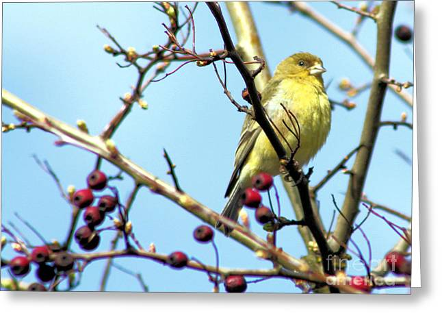 Bird In Tree Greeting Cards - Golden Finch Greeting Card by Nick Gustafson