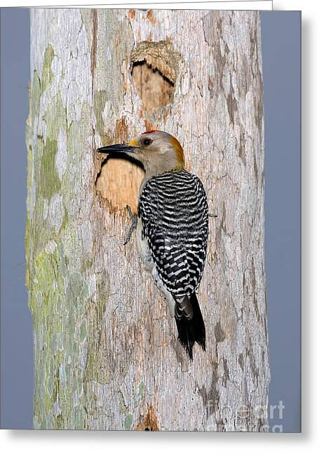 Woodpecker Greeting Cards - Golden-fronted Woodpecker Greeting Card by Anthony Mercieca