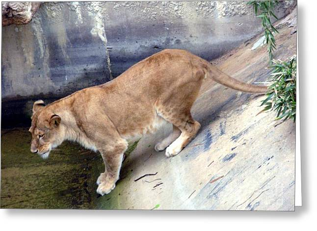 Lioness Greeting Cards - Golden Fur Lioness Greeting Card by Joseph Baril