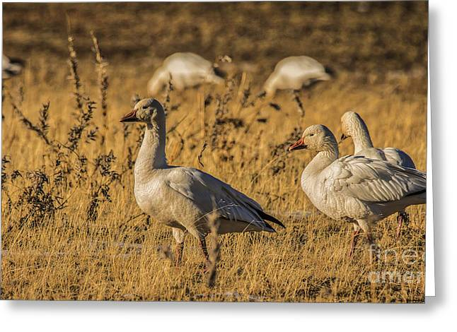 Grazing Snow Greeting Cards - Golden Geese Greeting Card by Mitch Shindelbower