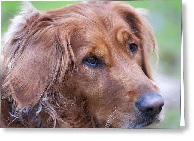 Dog Photographs Greeting Cards - Golden Girl Greeting Card by Stephen Anderson