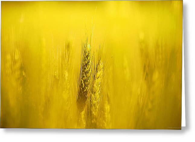 Haut-rhin Greeting Cards - Golden grain Greeting Card by Philippe Meisburger