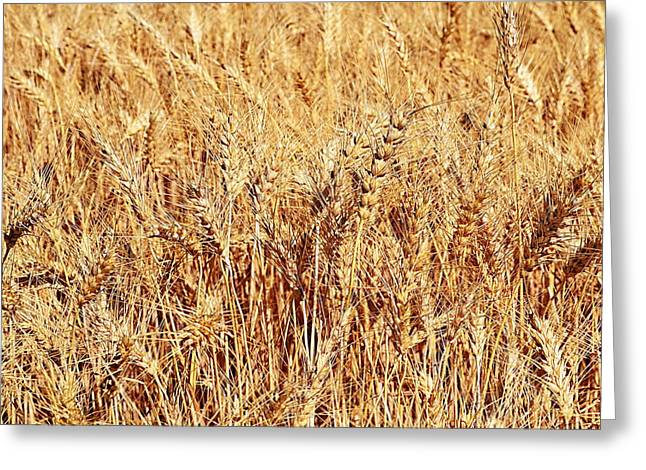 Stalks Of Grass Greeting Cards - Golden Grains Greeting Card by Michelle Calkins