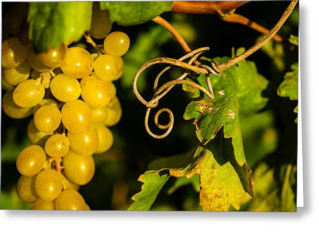 Bunch Of Grapes Photographs Greeting Cards - Golden Grapes on Vines Greeting Card by Meir  Jacob