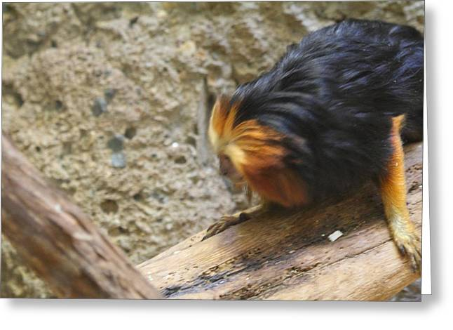 Lions Greeting Cards - Golden Headed Lion Tamarin - National Zoo - 01131 Greeting Card by DC Photographer