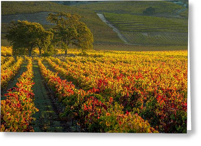 Grape Vineyard Greeting Cards - Golden Light in the Valley Greeting Card by Bill Gallagher