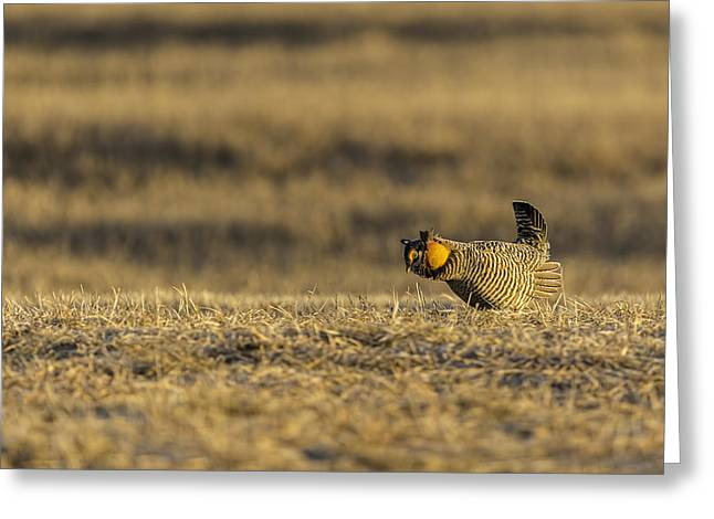 Prairie Chickens Greeting Cards - Golden Light On The Prairie Greeting Card by Thomas Young