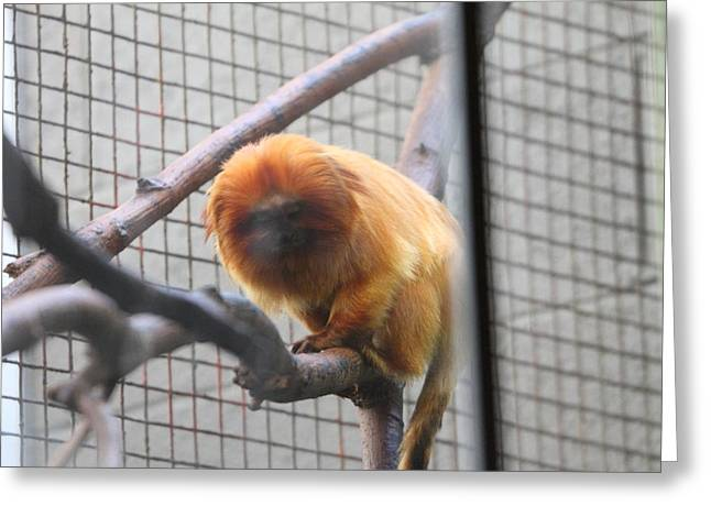 Lions Greeting Cards - Golden Lion Tamarin - National Zoo - 01131 Greeting Card by DC Photographer