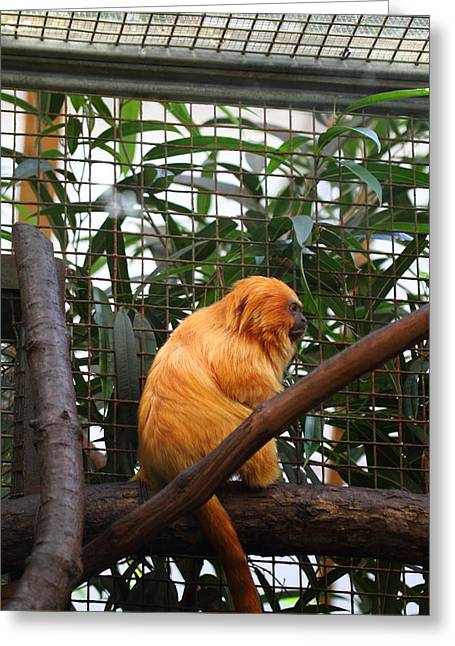 Lions Greeting Cards - Golden Lion Tamarin - National Zoo - 011310 Greeting Card by DC Photographer