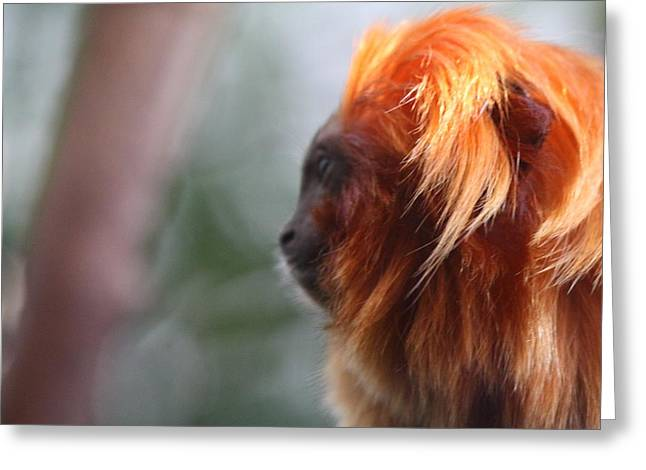 Zoological Greeting Cards - Golden Lion Tamarin - National Zoo - 011312 Greeting Card by DC Photographer
