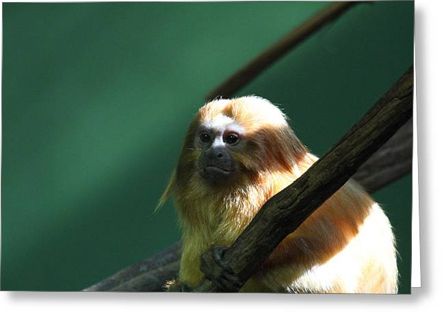 Lions Greeting Cards - Golden Lion Tamarin - National Zoo - 011314 Greeting Card by DC Photographer