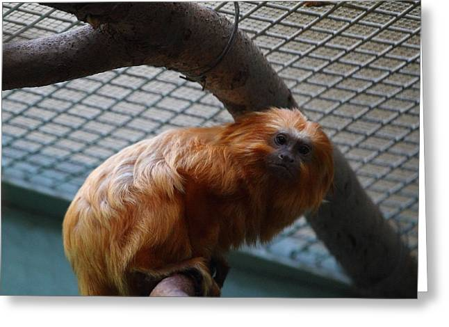 Recently Sold -  - Lions Greeting Cards - Golden Lion Tamarin - National Zoo - 011316 Greeting Card by DC Photographer