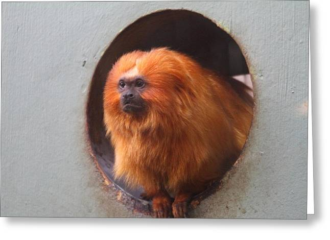 Lions Greeting Cards - Golden Lion Tamarin - National Zoo - 01132 Greeting Card by DC Photographer