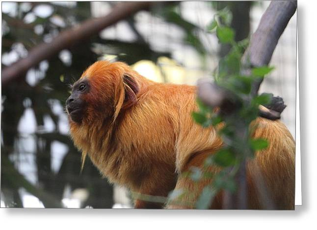 Golden Photographs Greeting Cards - Golden Lion Tamarin - National Zoo - 01134 Greeting Card by DC Photographer
