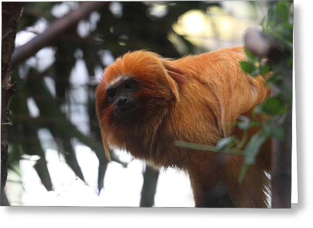 Lions Greeting Cards - Golden Lion Tamarin - National Zoo - 01135 Greeting Card by DC Photographer