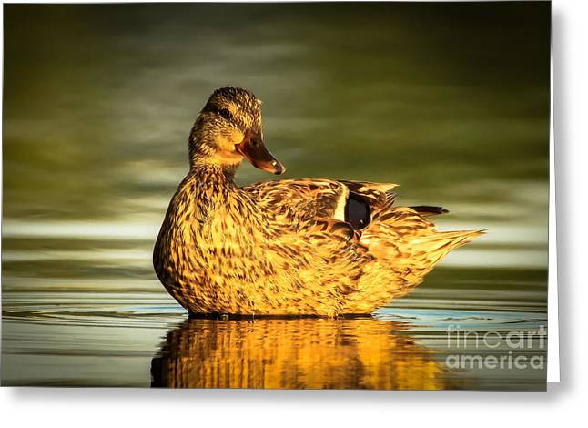 Golden Mallard Greeting Card by Heidi Piccerelli