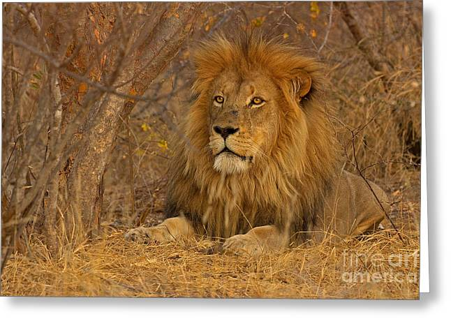 Mesmerising Greeting Cards - Golden Mane Greeting Card by Ashley Vincent