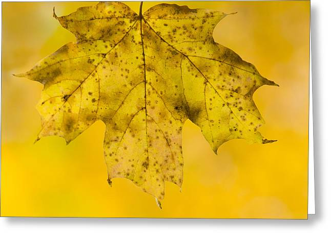 Golden Maple Leaf Greeting Card by Sebastian Musial