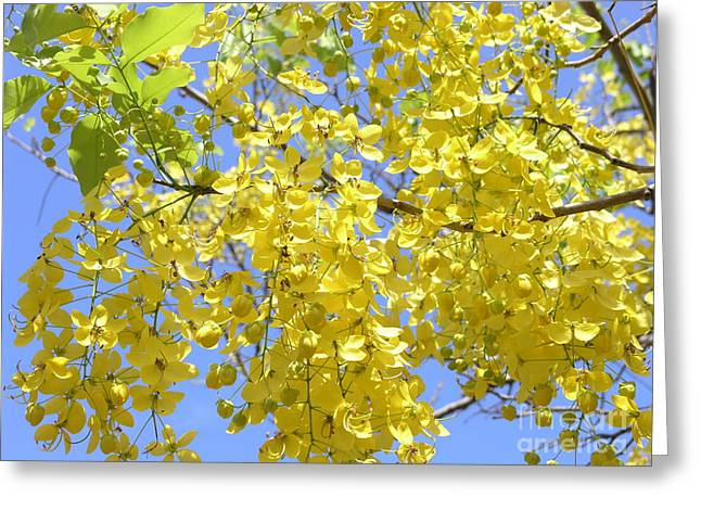 Mary Deal Greeting Cards - Golden Medallion Shower Tree Greeting Card by Mary Deal