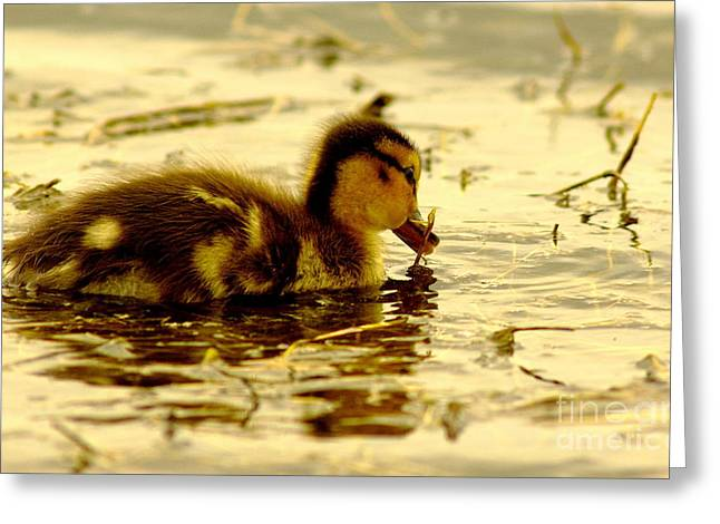 Ducklings Greeting Cards - Golden Moment Greeting Card by Robert Frederick