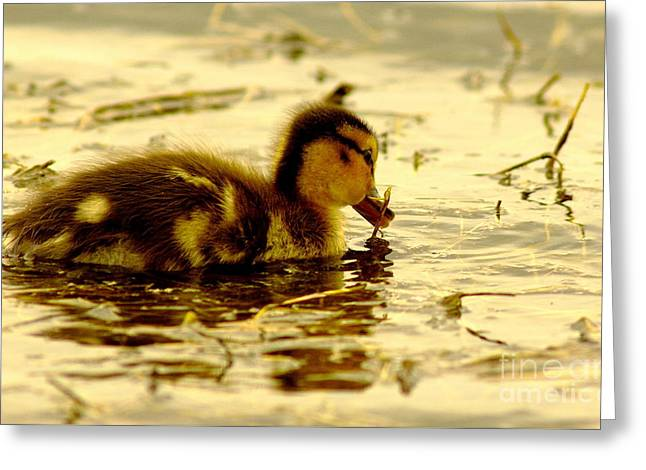 Cabin Wall Greeting Cards - Golden Moment - Duck Greeting Card by Robert Frederick