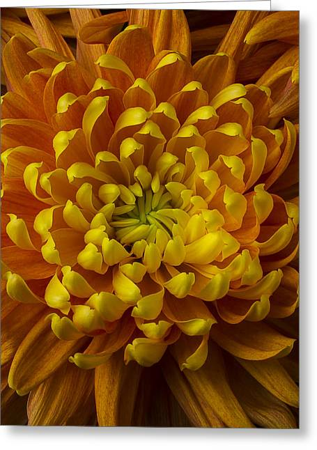 Gorgeous Flowers Greeting Cards - Golden Orange Mum Greeting Card by Garry Gay