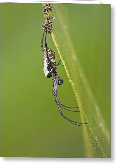 Golden Orb-weaver Spider Greeting Card by Science Photo Library