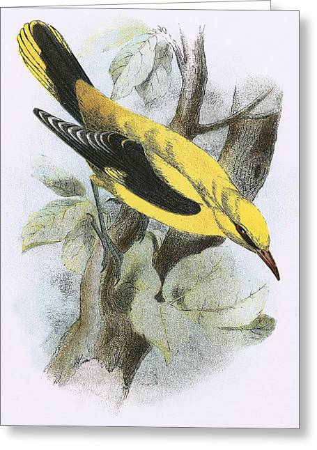 Golden Oriole Greeting Card by English School