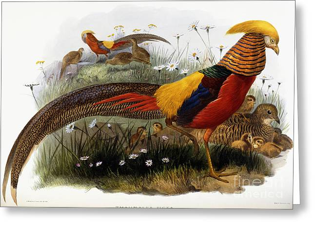 Golden Drawings Greeting Cards - Golden Pheasants Greeting Card by Joseph Wolf