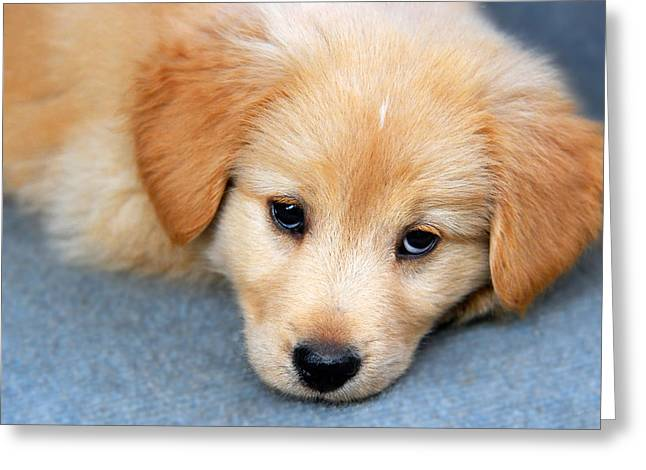 Animals Love Greeting Cards - Retriever Puppy Greeting Card by Christina Rollo