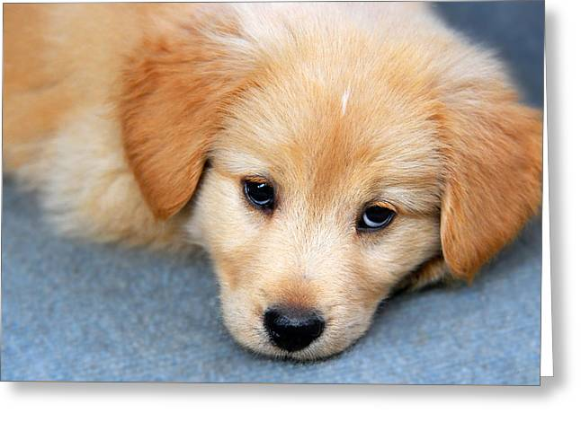 Friendly Puppy Greeting Cards - Retriever Puppy Greeting Card by Christina Rollo
