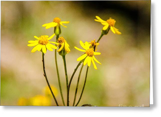 Rood Greeting Cards - Golden Ragwort Greeting Card by Mary Carol Story