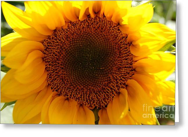 Farmstand Greeting Cards - Golden Ratio Sunflower Greeting Card by Kerri Mortenson