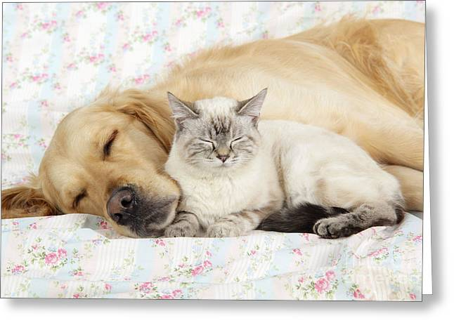 Canid Greeting Cards - Golden Retriever And Cat Greeting Card by John Daniels