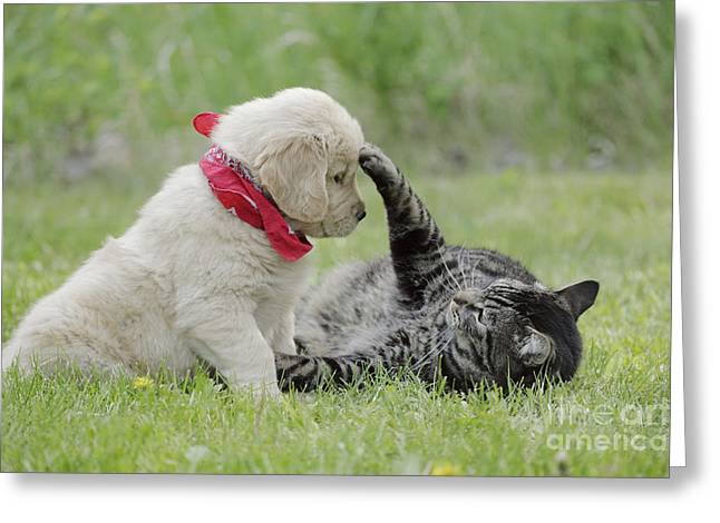 Best Friend Greeting Cards - Golden Retriever And Cat Greeting Card by Rolf Kopfle