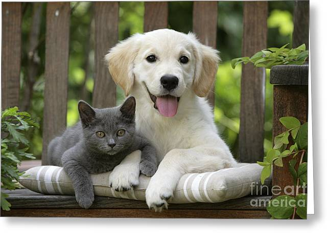 Mixed Species Greeting Cards - Golden Retriever And Kitten Greeting Card by Jean-Michel Labat