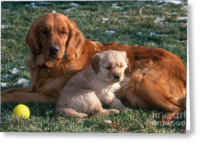 Dog With Tennis Ball Greeting Cards - Golden Retriever And Puppy Greeting Card by William H. Mullins