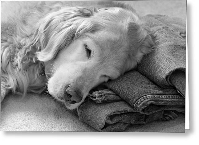 Golden Retriever Dog On Forever On Blue Jeans Black And White Greeting Card by Jennie Marie Schell