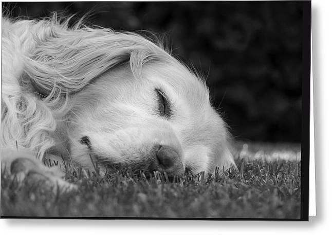 Sleeping Dogs Greeting Cards - Golden Retriever Dog Sweet Dreams Black and White Greeting Card by Jennie Marie Schell