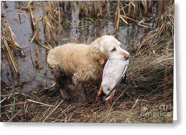 Dog In Lake Greeting Cards - Golden Retriever Dog With Mallard Duck Greeting Card by John Daniels