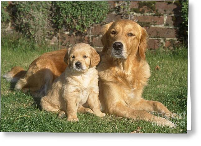 Puppy Sitting Greeting Cards - Golden Retriever Dog With Puppy Greeting Card by John Daniels