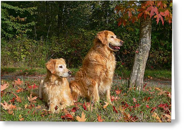 Yellow Dog Falls Greeting Cards - Golden Retriever Dogs in Autumn Greeting Card by Jennie Marie Schell