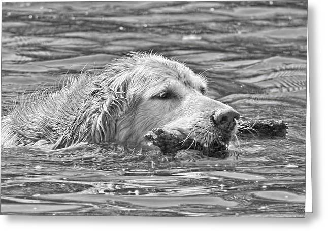 Dog Swimming Greeting Cards - Golden Retriever Fetch the Stick Black and White Greeting Card by Jennie Marie Schell