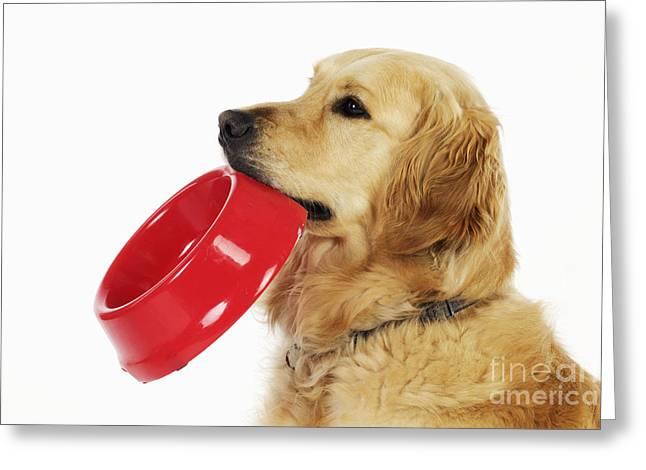 Begging Bowl Greeting Cards - Golden Retriever Holding Bowl Greeting Card by John Daniels