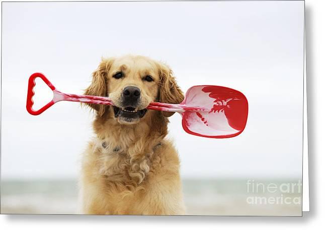 Dog Head Greeting Cards - Golden Retriever Holding Spade Greeting Card by John Daniels