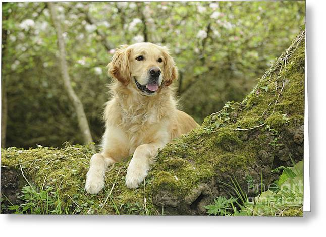 Tree Roots Greeting Cards - Golden Retriever In Woods Greeting Card by John Daniels