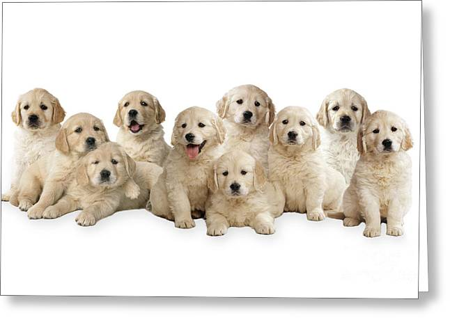 Yellow Dog Greeting Cards - Golden Retriever Puppies, In A Line Greeting Card by John Daniels