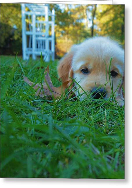 Bred Photographs Greeting Cards - Golden Retriever Puppy  Greeting Card by Dan Sproul